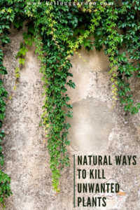 """Ivy wall with text, """"Natural Ways to Kill Unwanted Plants"""""""