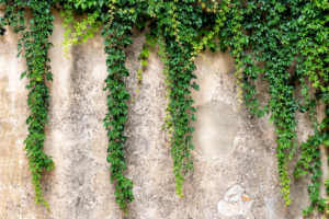Stone wall with ivy growing down it.