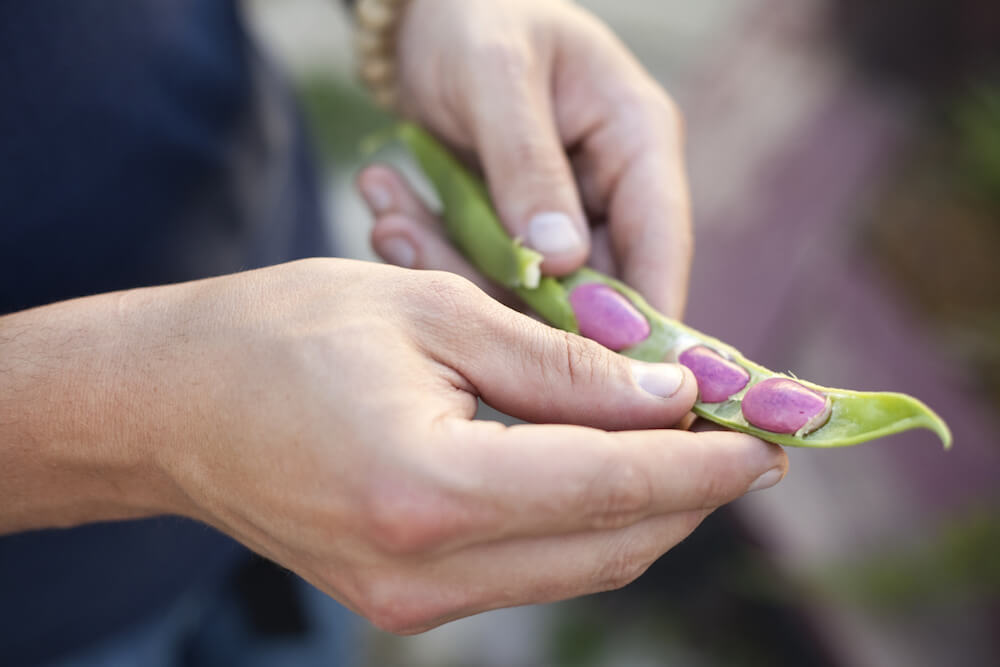 A young man holding a fresh bean pod from the garden.