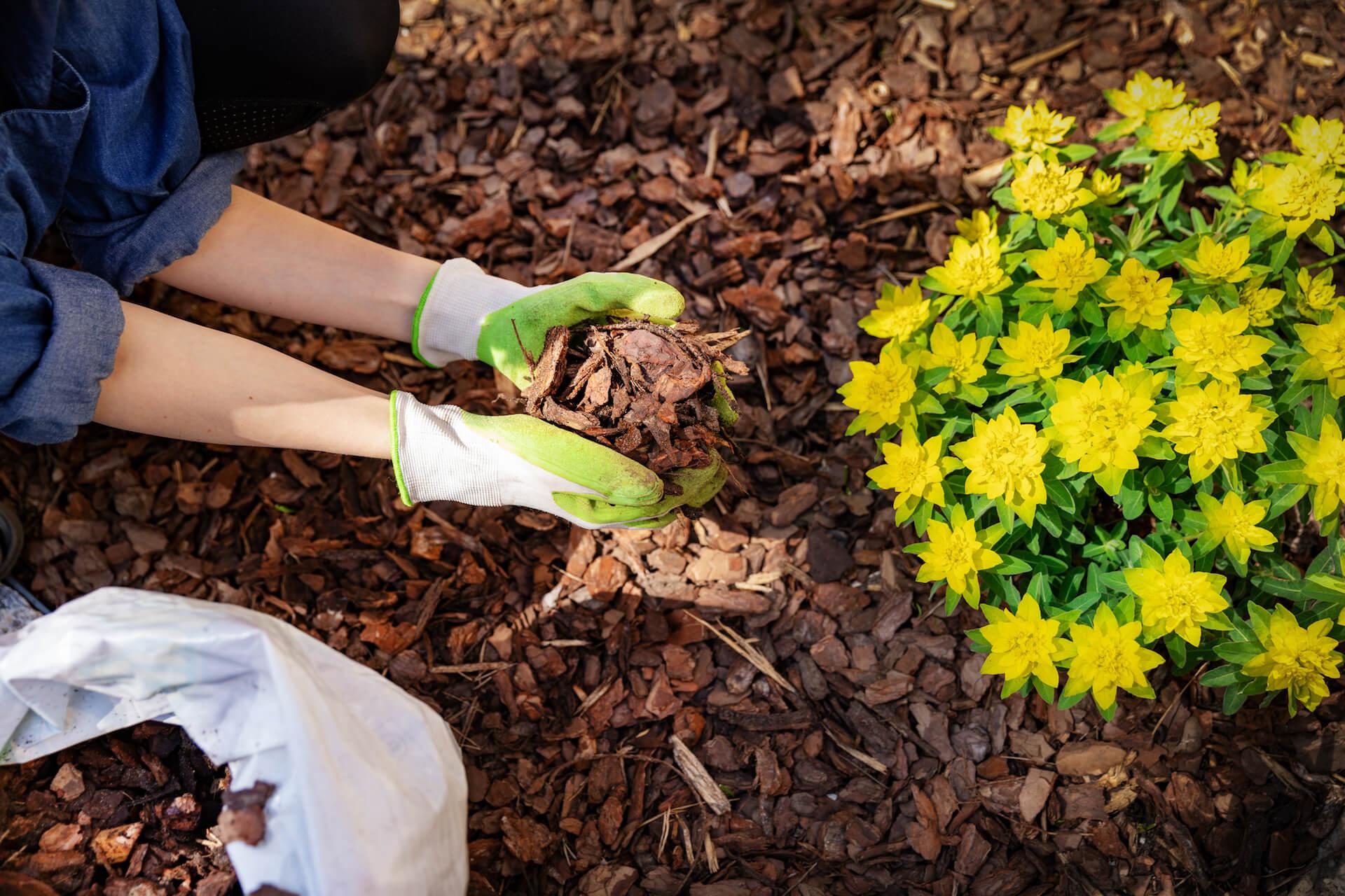 Woman holding a handful of mulch next tis yellow flower bush