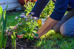 Woman Planting Flowers purple flowers