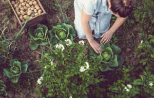Woman Planting Potatoes in a garden