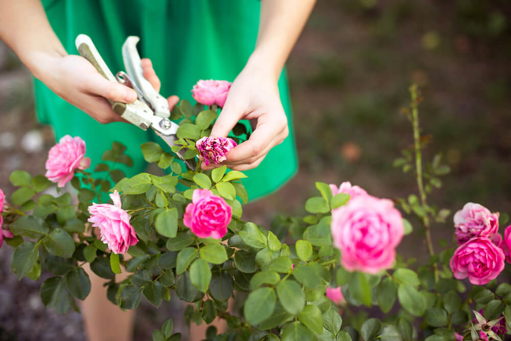 Woman is green dress pruning pink roses