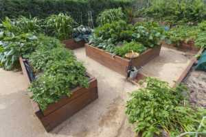 Raised wooden vegetable garden beds with healthy vegetables growing.