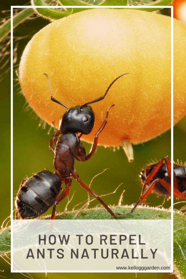 Image of ant touching a tomato