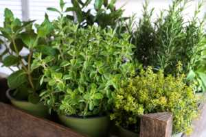 Selection of fresh culinary herbs in a old wooden box