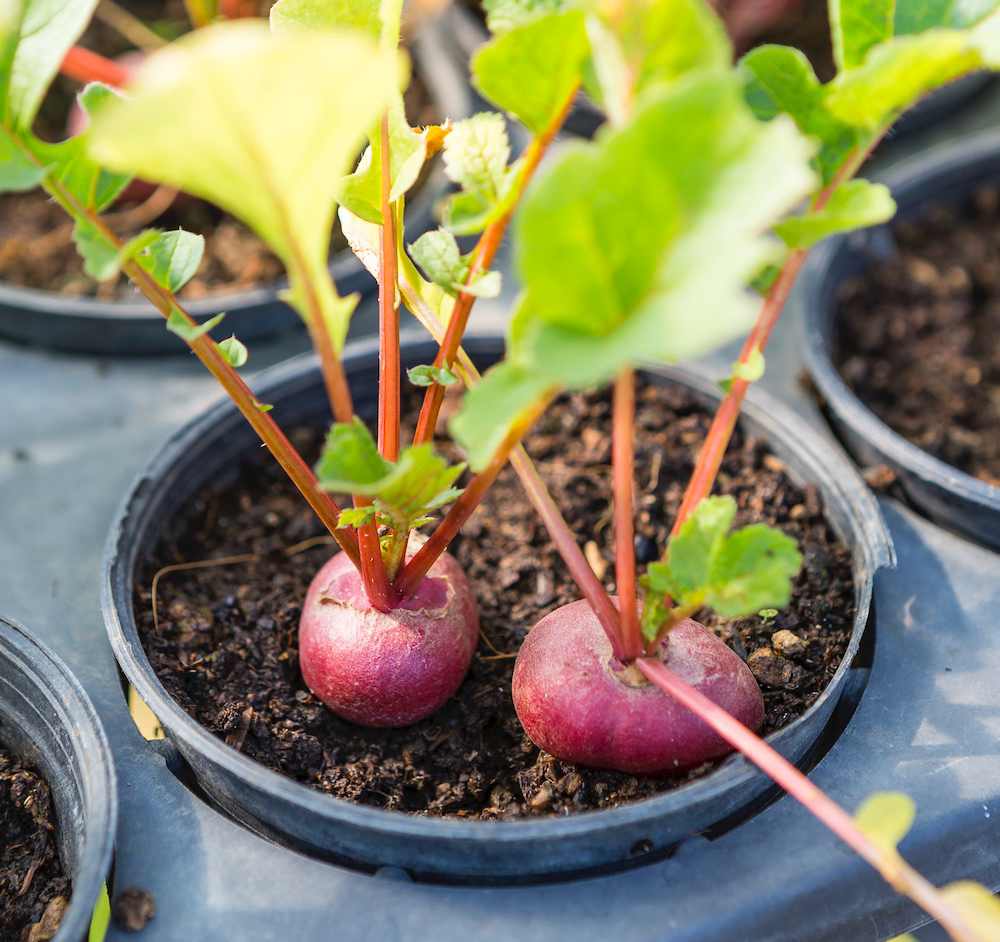 Baby beetroot in small plant pot,