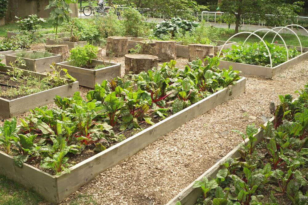 beets in a raised bed in an community garden