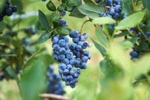 Fresh organic blueberrys on the bush.
