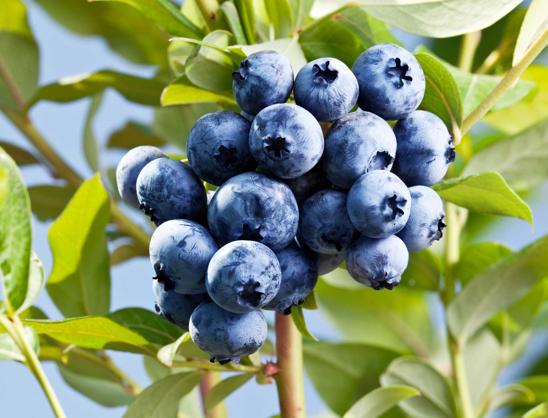 macro shot of blueberries on a shrub