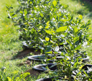 Young blueberry bushes on organic plantation. Orchard in summer. Early growth stages.