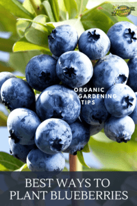 up close shot of blueberries pinterest image