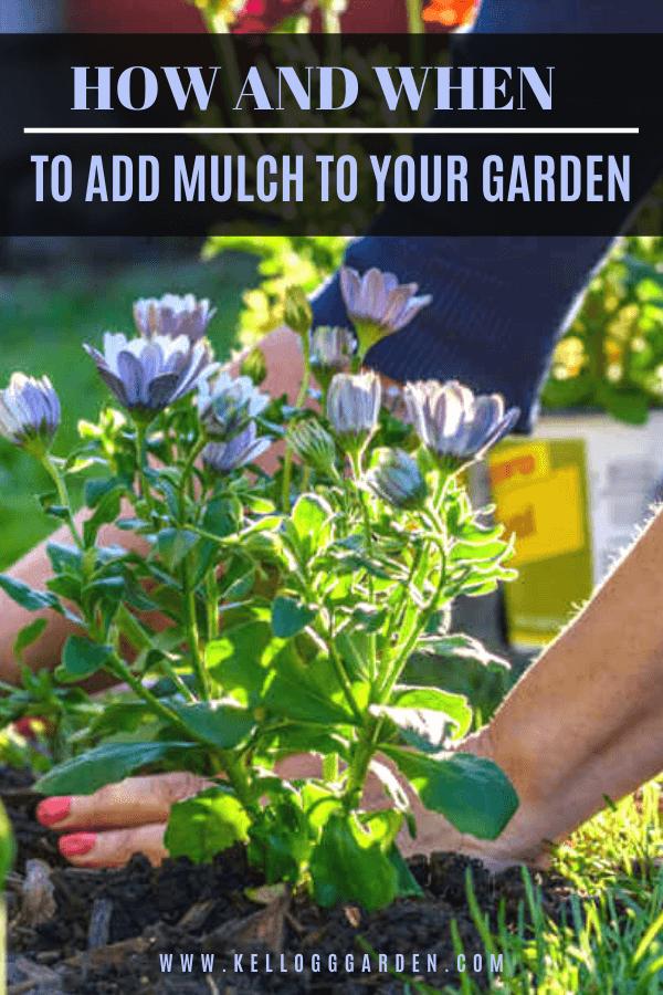 women gardener planting purple flower and mulch surrounding the flower pinterest image