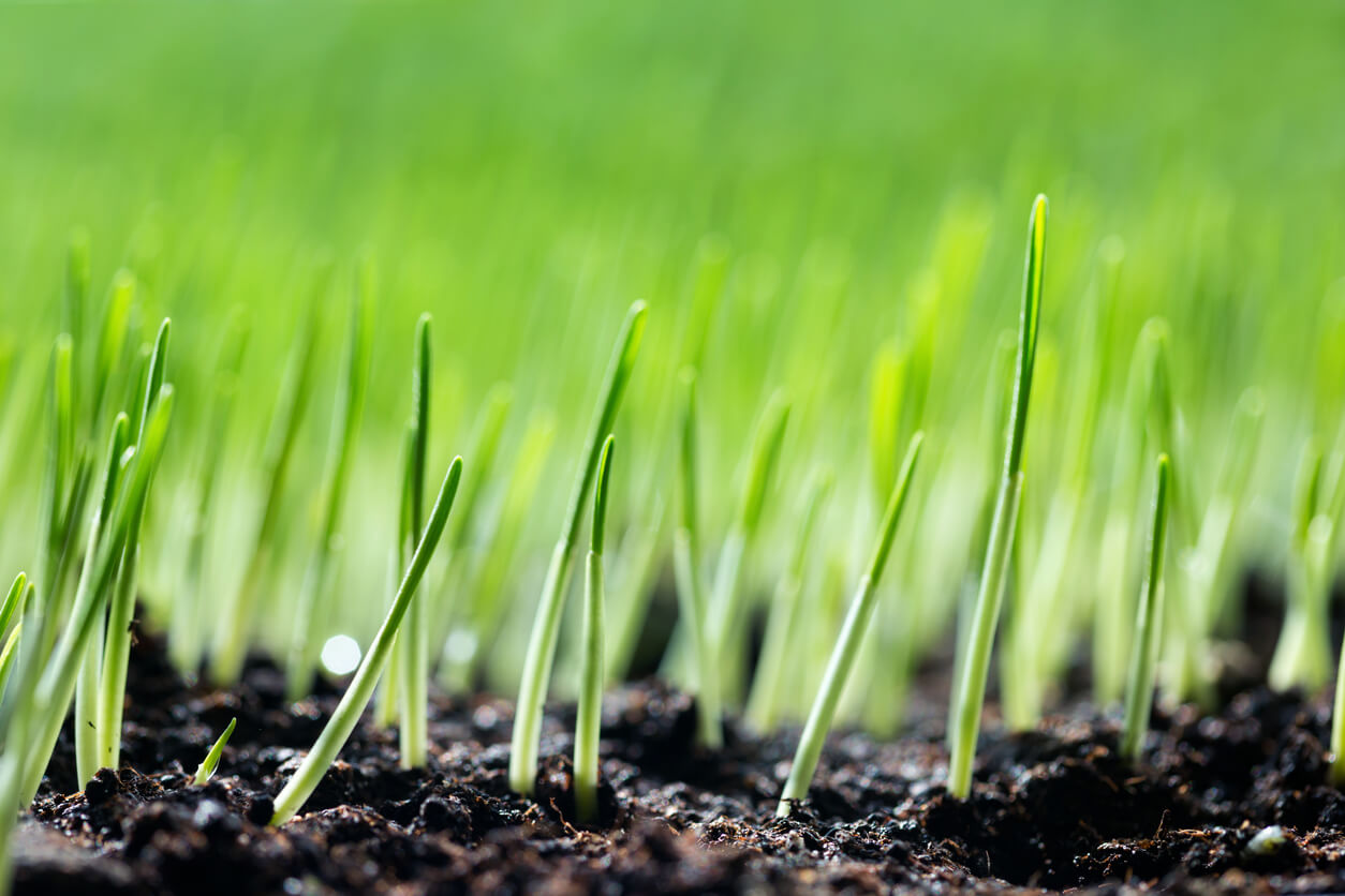 Grass sprouting from soil