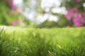 Lush green grass closeup