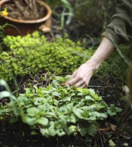 Gardener picking up growing mint in the garden