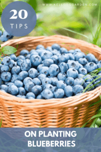 blueberries in a woven basket pinterest image