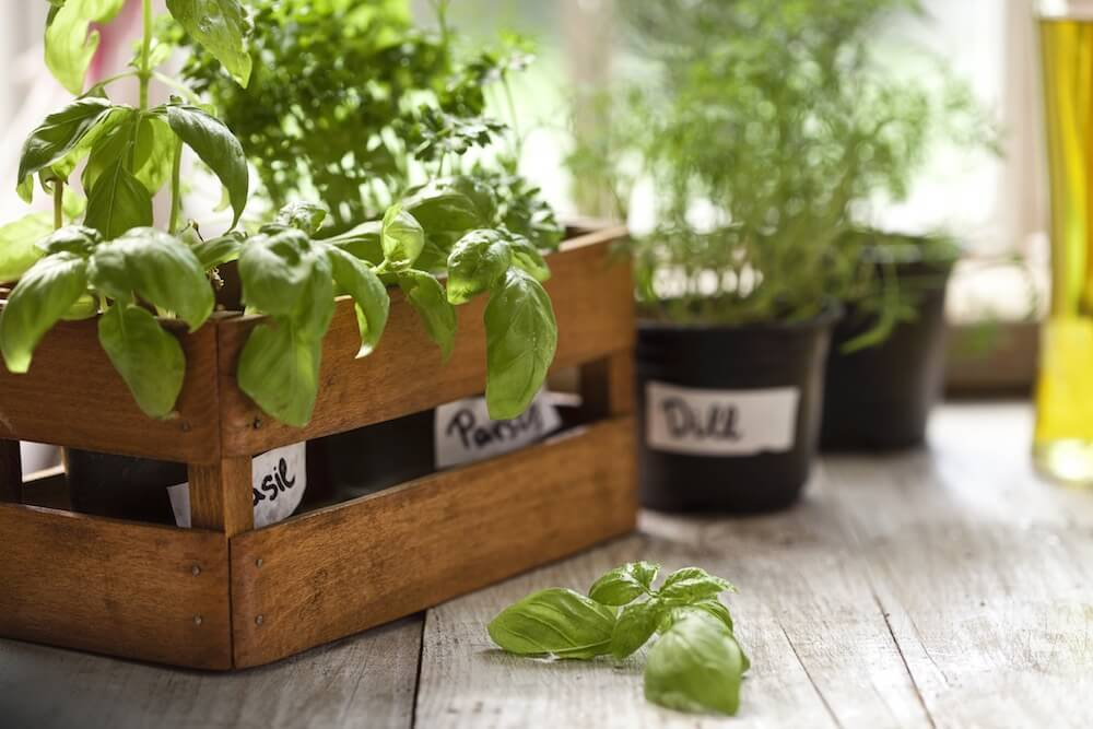Indoor Herb Garden, Potted Container Plant by Window Sill