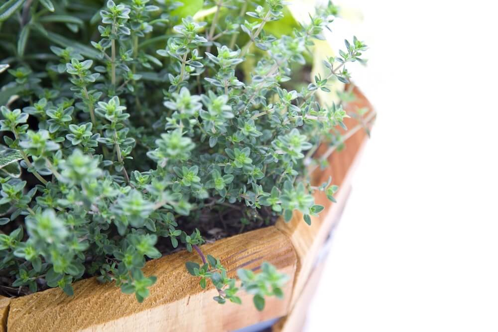 fresh herbs in wooden container garden