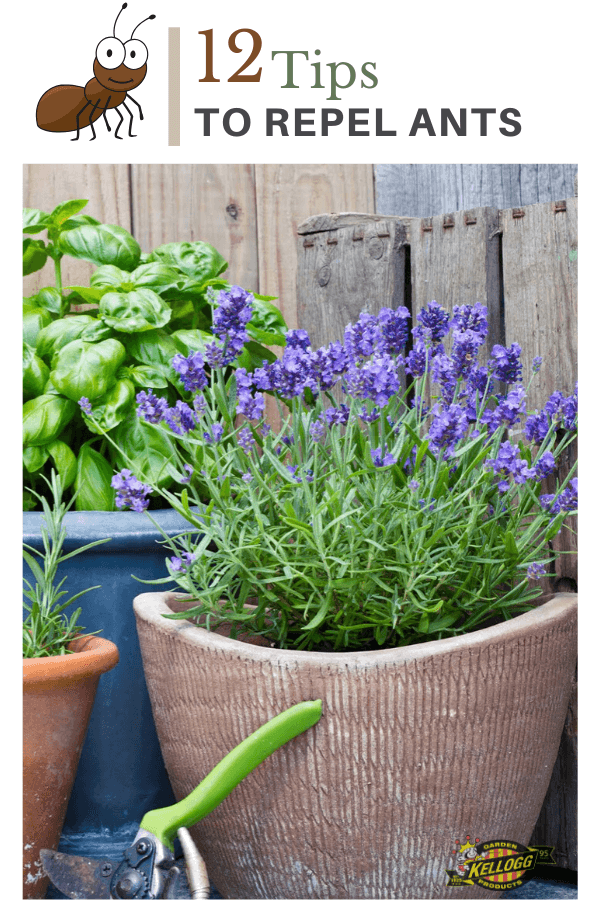 fresh lavendar growing in a clay pot and basil in a grey pot
