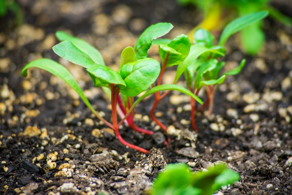 Fresh green beet sprouts emerging from soil