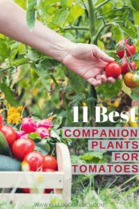 hand harvesting a cherry tomato