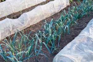row of leeks growing