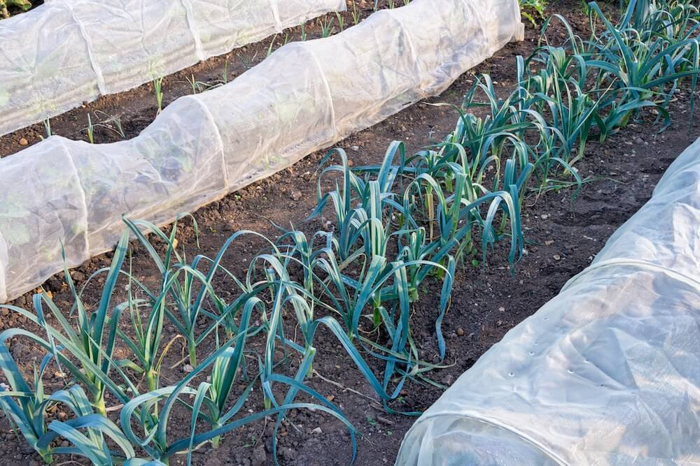 row of leeks growing