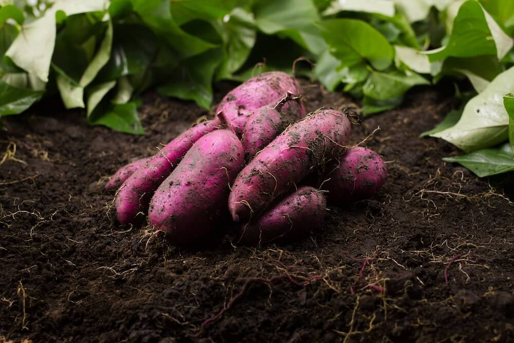 Grow and Harvest sweet potato