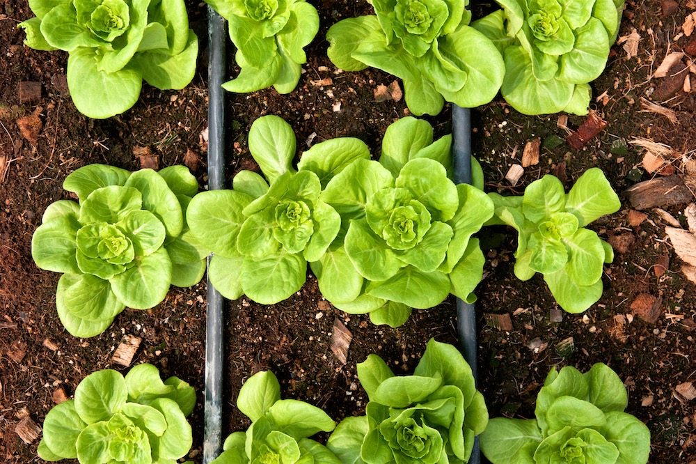 Rows of fresh lettuce farm. Plant growing in vegetable garden. Top view. Close up