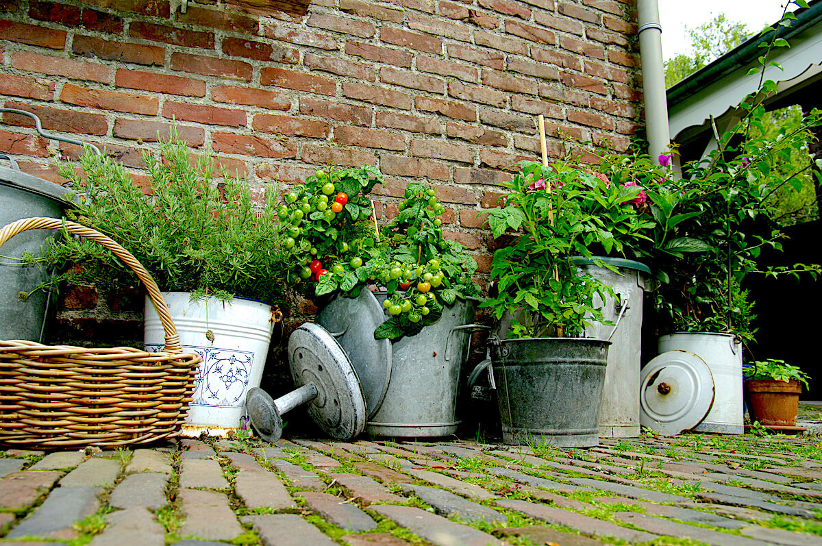 rosemary and tomatoes growing in metal buckets on patio