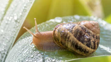 crawling snail on a green leaf with water droplets