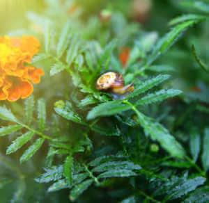 closeup of snail on a green stalk of an orange marigold