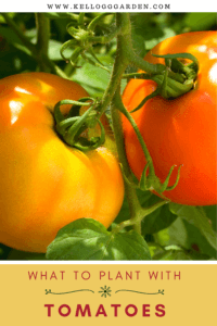 up close shot of two tomatoes, one red, one orange