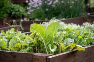 growing vegetables in a wooden garden box