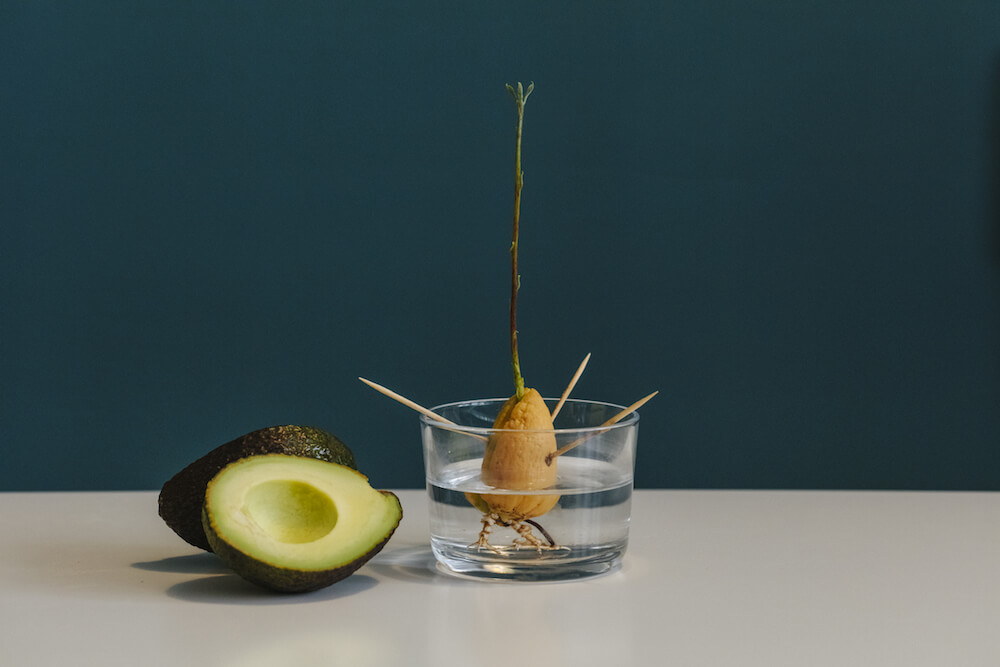 An avocado seed growing in a glass of water next ti a sliced avocado.