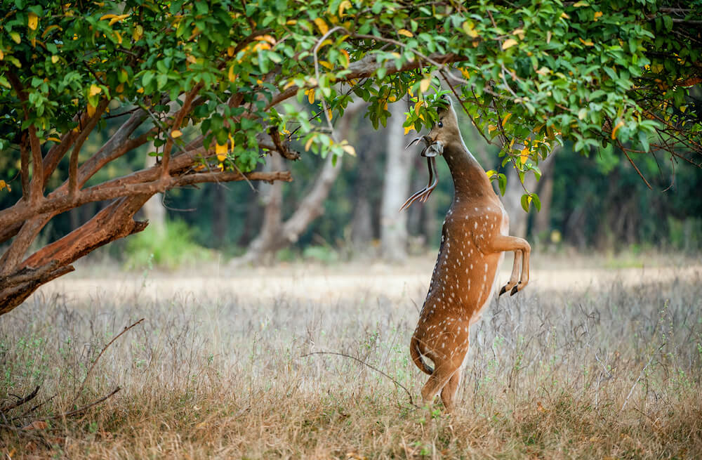 Deer standing up and eating off a fruit tree.