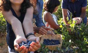 Family picking blueberries in the garden.