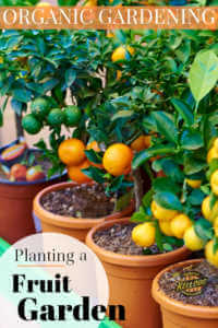 """Potted citrus trees with text, """"Planting a fruit garden"""""""
