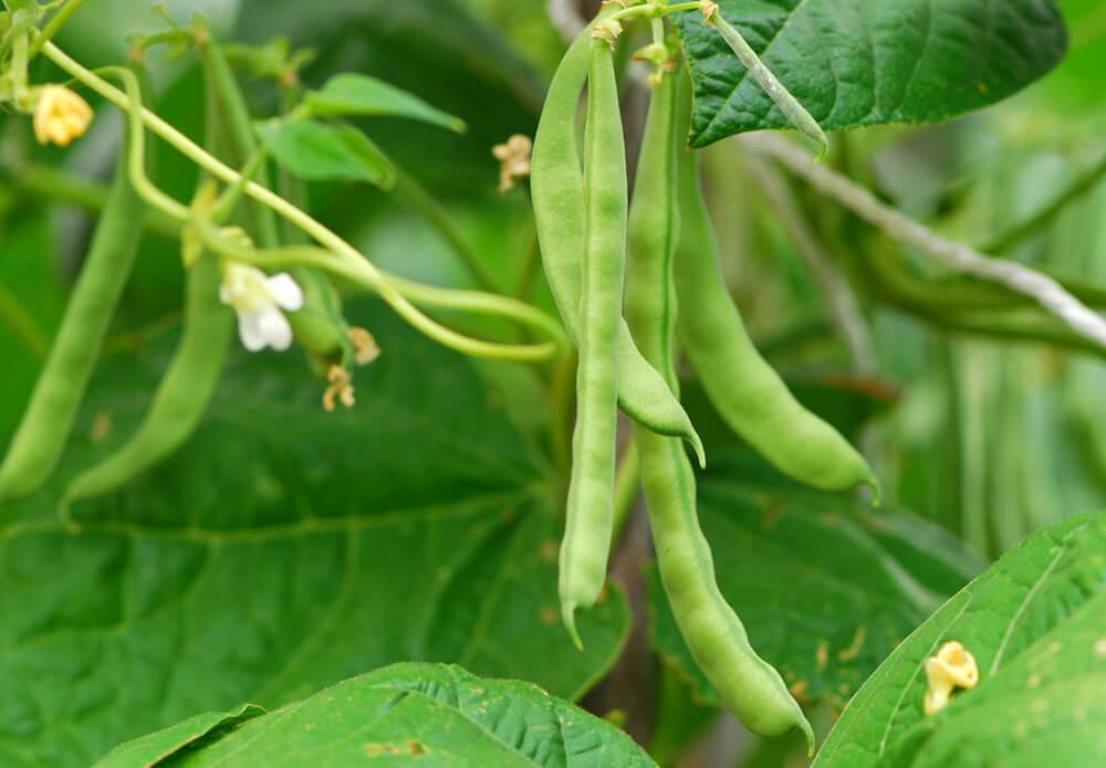 Green bean plant.