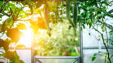Cucumbers hanging and growing in a greenhouse.