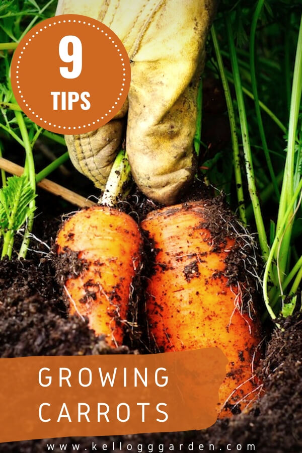 """Pulling carrots out of garden with text, """"Growing Carrots"""""""