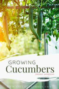 Growing cucumbers organic gardening