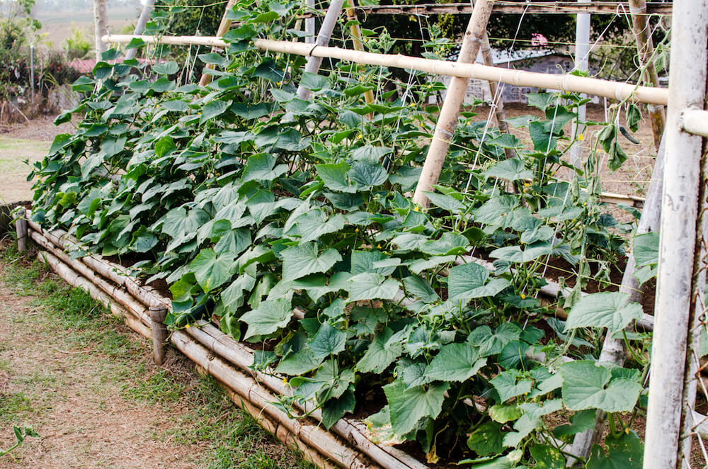 Cucumbers plant on a vertical garden.