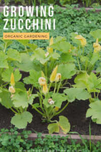 "Zucchini garden with text, ""growing zucchini organic gardening"""