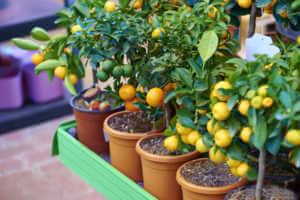 Orange trees in pots.