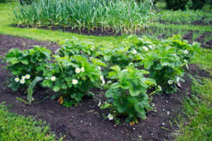 Flowering strawberry plants in the organic garden at springtime