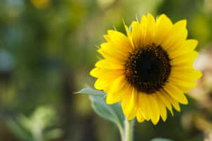 Summer sunflower bud close up. Shot using all natural light