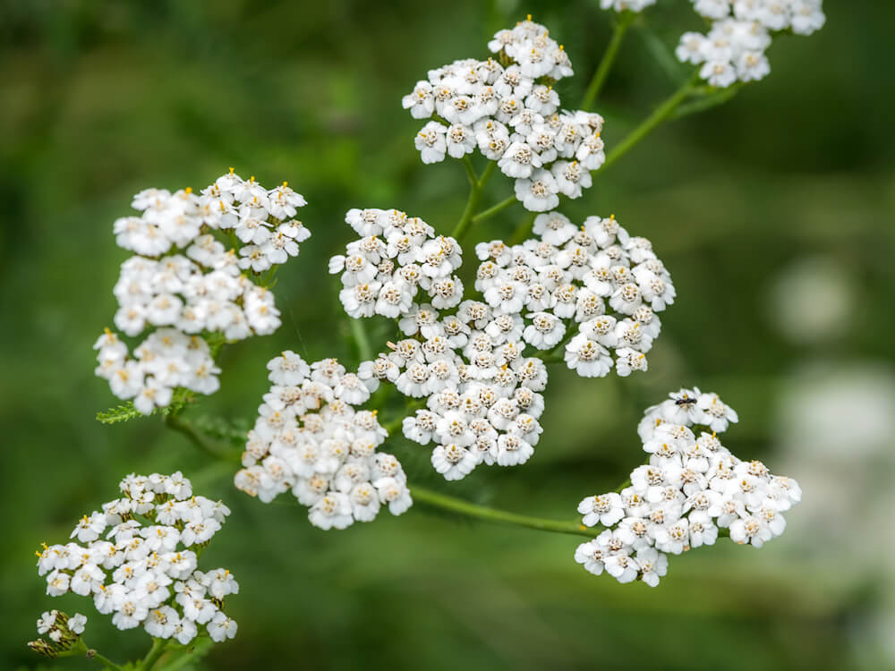 White common yarrow on a green blurry background close-up.