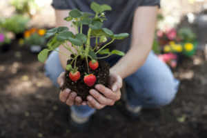 Woman holding strawberry plant in hands.